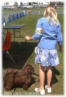 A blonde-haired girl is standing to next a small chocolate Havanese dog that is standing in grass.