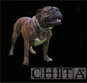 Full body shot of a Buldogue Campeiro photoshopped onto a black background with the words 'CHITA' overlayed