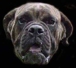 Close-up head shot of a Buldogue Campeiro photoshopped onto a black background