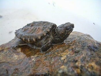 Close up - A dark baby snapping turtle is laying on top of a wet rock.