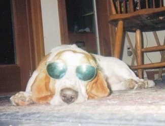 Betty the Basset Hound laying on the ground while wearing a pair of sunglasses