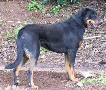 Left Profile - Cleo the Beauceron standing in dirt.
