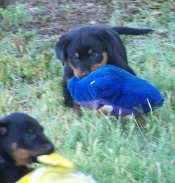 Two Beauceron puppies playing outside each with a plush toy