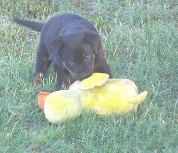 Beauceron Puppyoutside with a plush duck toy