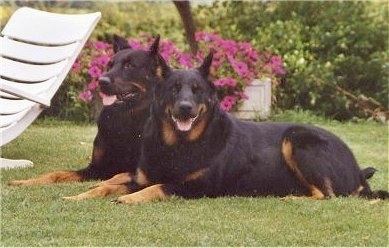 Max and Nina the Beaucerons laying outside with there mouths open and tongues out