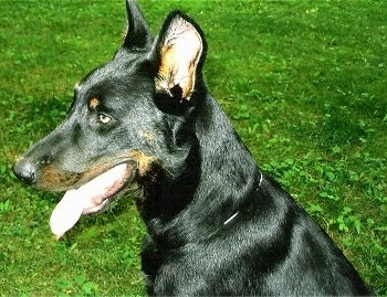 Close Up Right Profile - Haunter the Beauceron sitting in grass with his mouth open and tongue out