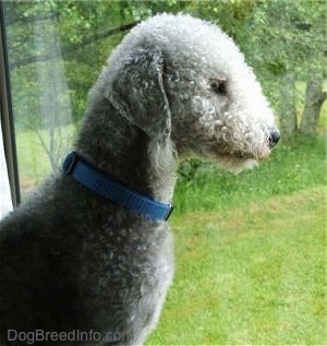 Bedlington Terrier dog look through glass