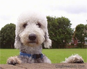 Bedlington Terrier jumping up at a brick wall