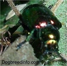 Close Up - Japanese Beetle