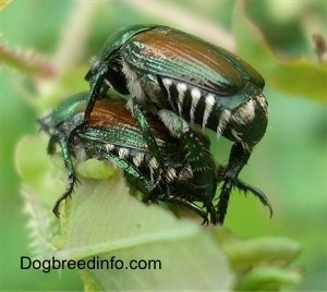 Two beetles mating on a leaf
