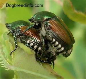 Two beetles mating
