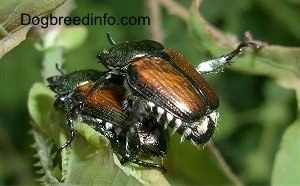 Close Up - Two beetles mating