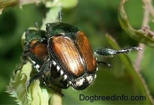 Two Japanese Beetles on top of each other on a leaf