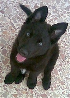 Aris, the 2 � month Belgian Groenendael
