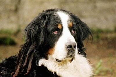 Close Up head shot - Benny the Bernese Mountain Dog outside