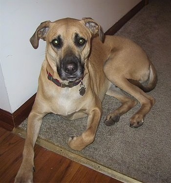 Ace the Black Mouth Cur laying on a carpet against a wall with one paw on the begining of a hardwood floor