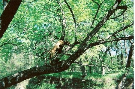 Seven Bone Keeton the Black Mouth Cur climbing a tree