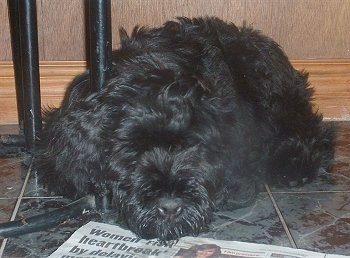 Black Russian Terrier puppy laying on a tiled floor in front of a newspaper