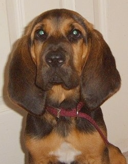 Phillip the Bloodhound Puppy sitting in front of a door