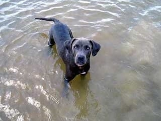 Gunner the Blue Lacy standing in water