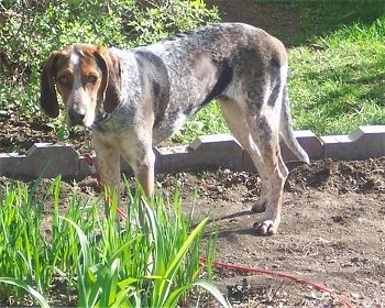Lydia at 1 year old. She is a blueticked color phase of the English Coonhound.