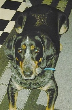 View from the top looking down - A black with tan Bluetick Coonhound dog  laying on a gray and green throw rug next to a black and white checkered floor looking up.