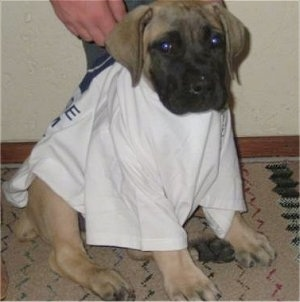 Stewart the Boerboel puppy sitting on a rug wearing a white t-shirt