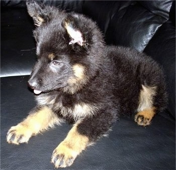 Nicka the Bohemian Shepherd Puppy sitting on a black leather couch with its tongue out