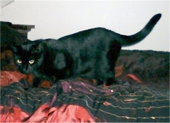 Lilly the black Bombay cat is stalking around on a bed