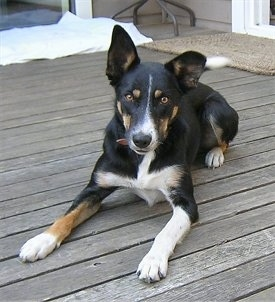 Brin the smooth-coated tricolored Border Collie laying down on a wooden deck