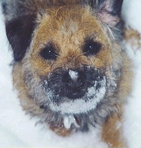 Nell the five year old Border Terrier