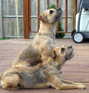 Brown Border Terrier dogs in both positions