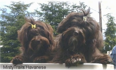 Close up head shot - Two chocolate dogs are standing up against a wall and they are looking forward. There are clips in there hair holding it out of their eyes.