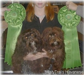 Two chocolate with white dogs are being held in a persons arms and there are two green ribbons on each side of them.