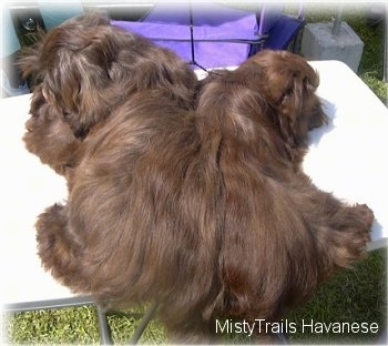 Two small, chocolate brown dogs are laying across a table and they are laying back to back.