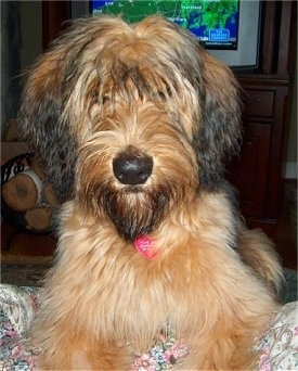 Close Up - Alfie Marie Noble the Briard laying on the couch with the weather channel in the background