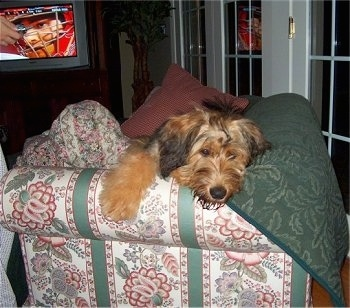 Alfie Marie Noble the Briard laying on the corner of a couch with a baseball game happening on the TV in the background