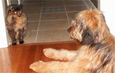 Alfie Marie Noble the Briard laying on the hardwood floor in front of a doorway looking at a cat who is in the doorway