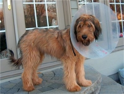 Alfie Marie Noble the Briard standing outside in front of a house at the top of stone steps wearing a dog cone