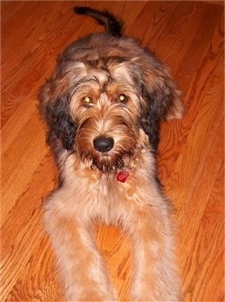 Alfie Marie Noble the Briard laying on a hardwood floor looking at the camera