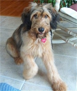 Alfie Marie Noble the Briard as a puppy beginning to lay on a tile floor with a white wooden rocking chair behind him