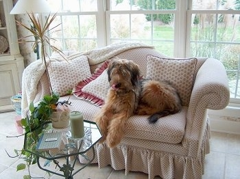 Alfie Marie Noble the Briard laying on a white and tan couch in front of a glass coffee table with a wall of windows behind him