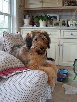 Alfie Marie Noble the Briard laying on a couch with is ceramic dog bowls on the floor and a white wooden cabinet behind him