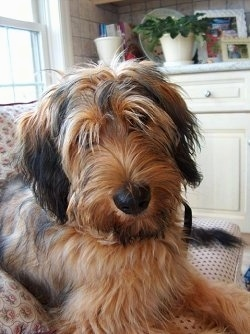 Close Up - Alfie Marie Noble the Briard laying on a couch with a white woodnen cabinet in the background