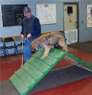 Alfie Marie Noble the Briard Puppy walking over an agility obstacle ramp