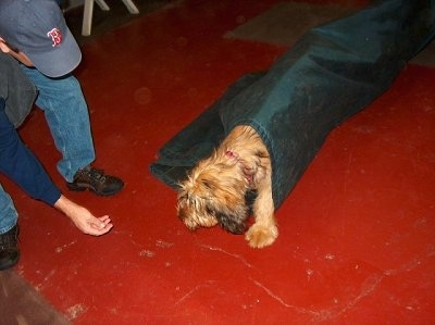 Alfie Marie Noble the Briard Puppy walking through a green agility tube with a person offering a treat in front of him