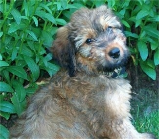 Alfie Marie Noble the Briard puppy sitting in front of a bush