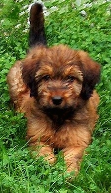 Alfie Marie Noble, the Briard as a young pup