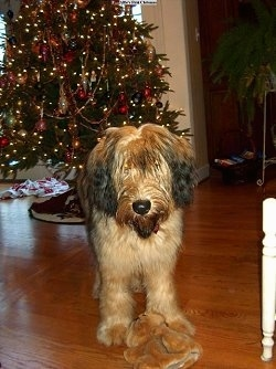 Alfie Marie Noble the Briard standing in front of a christmas tree with his plush toy in front of him