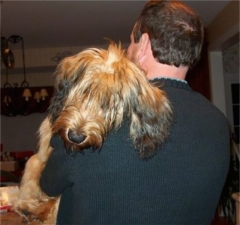 Alfie Marie Noble the Briard laying over the shoulder of a person